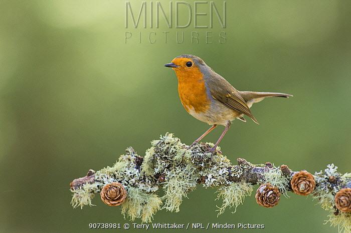 Robin (Erithacus rubecula) portrait on (Pinus sp) branch, Black Isle, Scotland, UK March