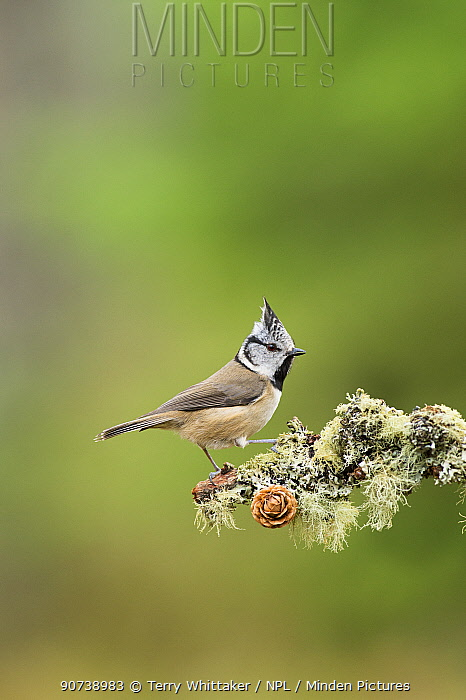 Crested tit (Lophophanes cristatus) on (Pinus sp) branch, Black Isle, Scotland, UK March