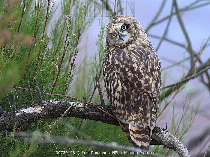 Short eared owl (Asio flammeus) tilting head upside down and backwards, Breton Marsh, West France, June
