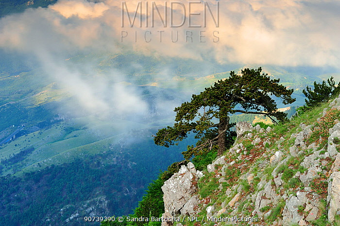 European Black pine tree (Pinus nigra) on steep mountainside, Pollino National Park, Italy. June 2009.