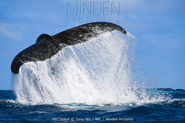 Humpback whale (Megaptera novaeangliae) executing a dramatic tail slap, throwing up a cascade of water with its powerful fluke, Vava'u, Tonga, South Pacific