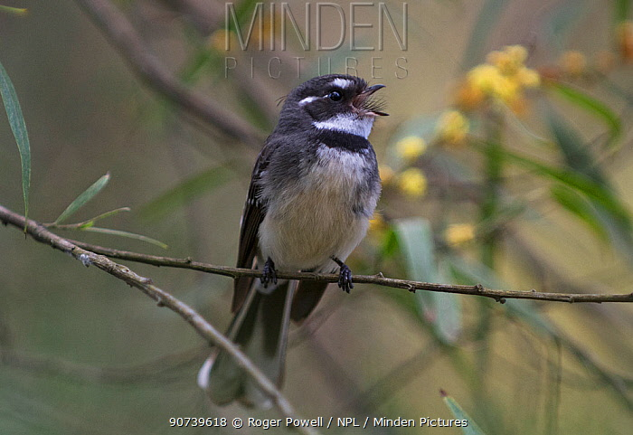 Grey fantail (Rhipidura fuliginosa) singing from a twig. Werribee, Victoria, australia