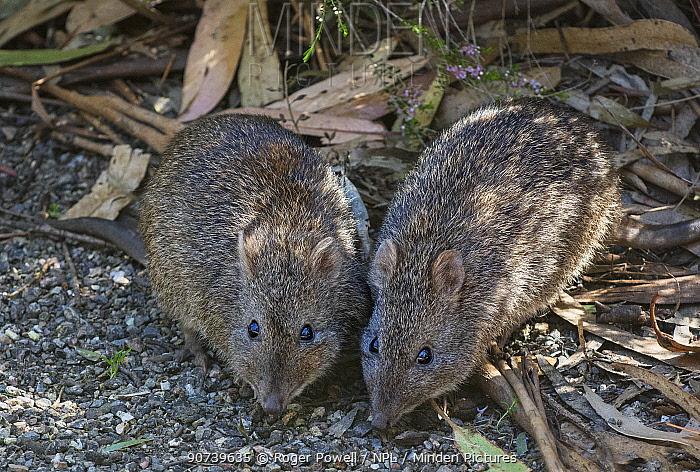 Two Long-nosed potoroos (Potorous tridactylus) feeding on a path. Cleland, South Australia, Australia