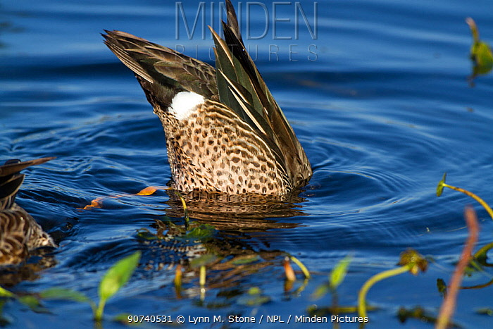Blue-Winged Teal (Anas discors) drake, dipping for food in pond. Lakeland, Florida, USA, January.