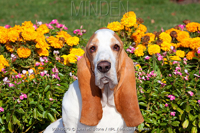 Portrait of red and white Basset Hound dog against flowers. USA