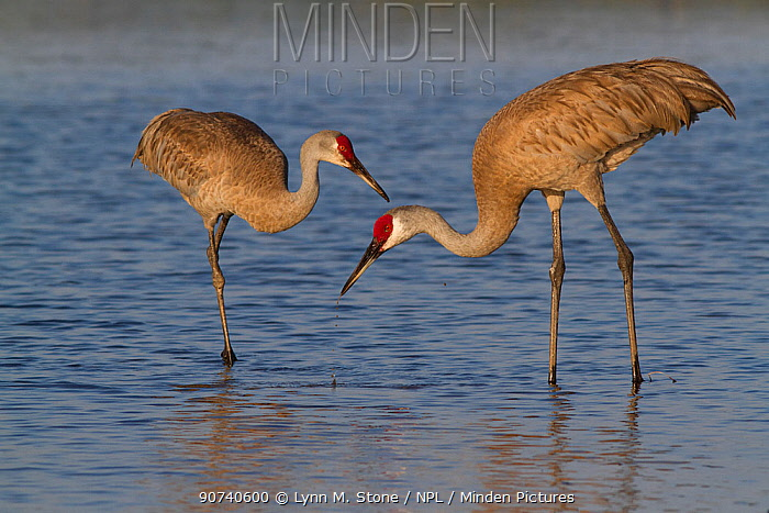Florida Sandhill Cranes (Grus canadensis pratensis) foraging in lake shallows. Sarasota County, Florida, USA, April.