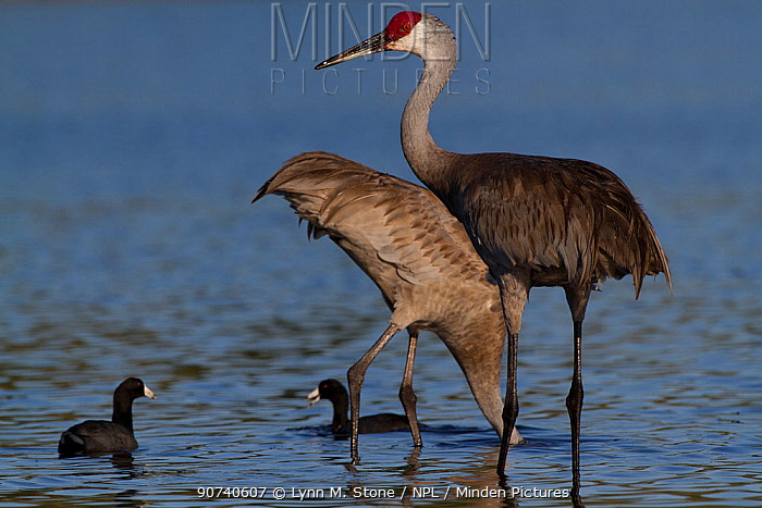 Non-migratory Florida Sandhill Crane (Grus canadensis pratensis) foraging in shallows of Myakka Lake (accompanied by American Coot, Felicia americana); the coots are foraging in the water disturbed by the larger birds. Sarasota, Florida, USA, March.