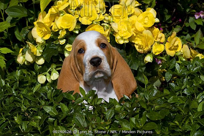 Basset Hound puppy in flowers. USA
