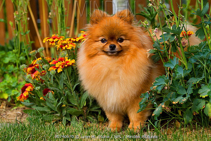 Pomeranian dog in garden setting, Illinois, USA