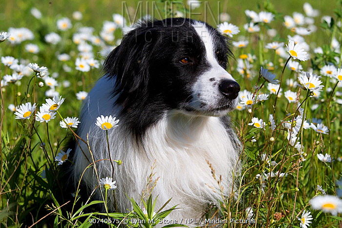 Male Border Collie sitting in early summer meadow; Marengo, Illinois, USA