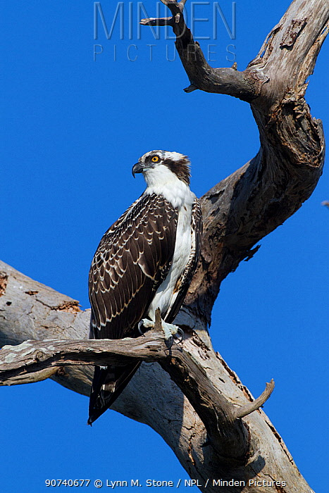 Osprey (Pandion haliaetus) perched in dead pine; , Florida, USA