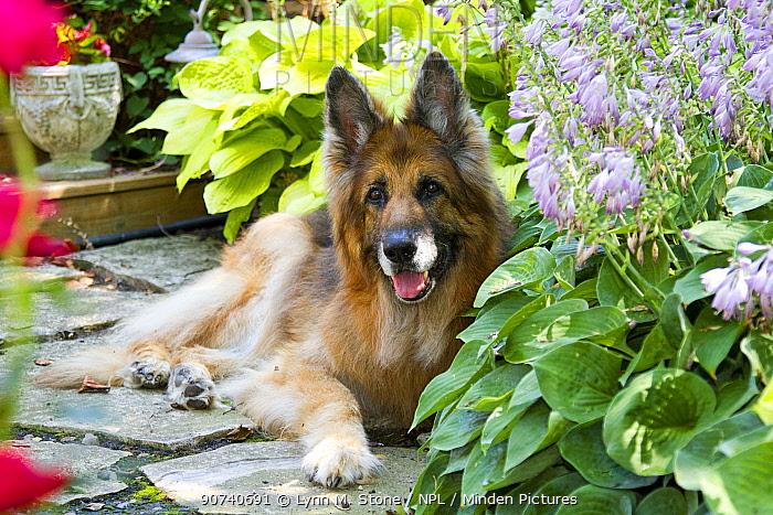 Senior German Shepherd dog (age 13) in yard vegetation;  Illinois, USA