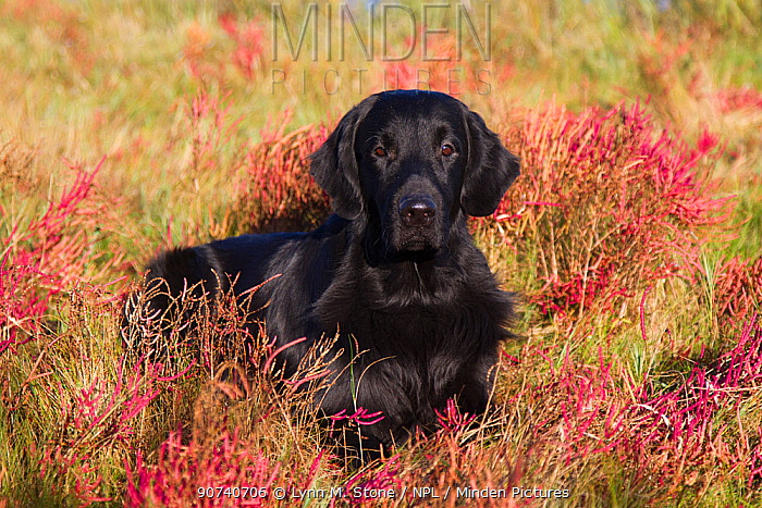Flat-Coated Retriever in glasswort and salt grass in salt marsh, Waterford, Connecticut, USA. (Non-ex)
