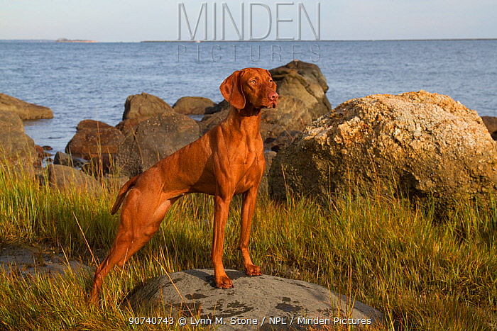 Vizsla standing in marine grass at coast, Madison, Connecticut, USA