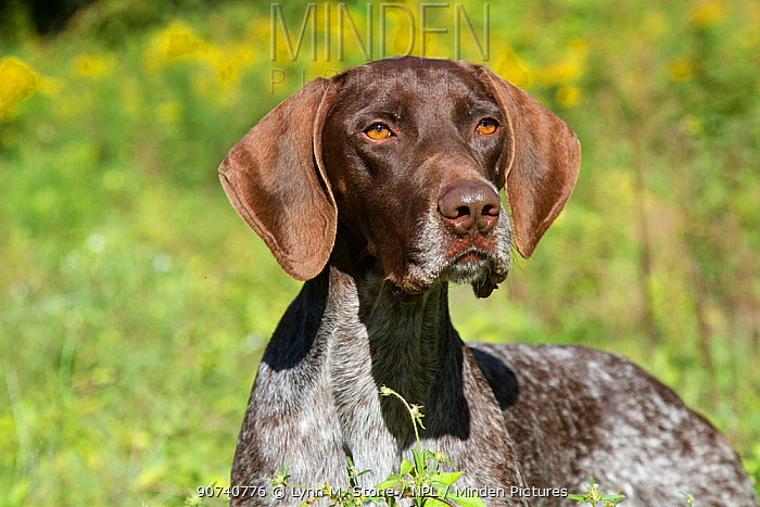 German Shorthair Pointer in field,  Illinois, USA