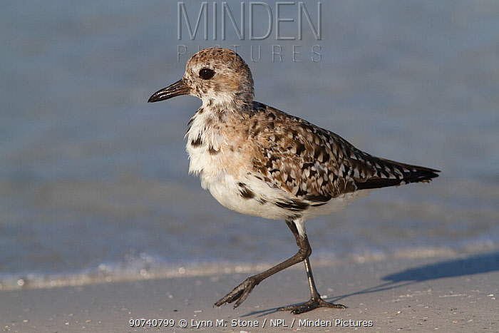 Black-Bellied Plover (Pluvialis squatarola) winter plumage, on sand of Tampa Bay shore, St. Petersburg, Florida, USA