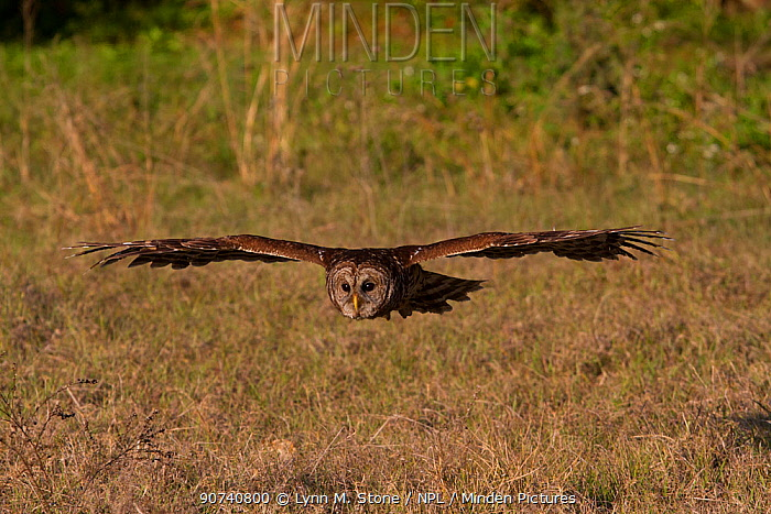Southern Barred Owl (Strix varia georgica) in flight, Sarasota, Florida, USA. Non-ex