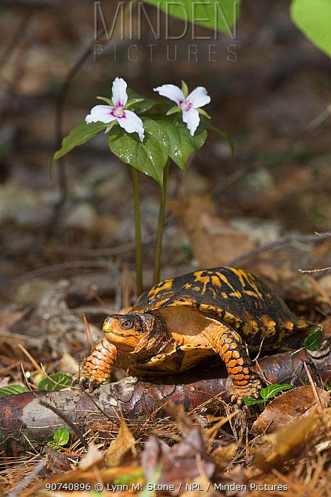 Eastern box turtle (Terrapene carolina carolina)  in pine forest, by Painted Trillium flower, Connecticut, USA