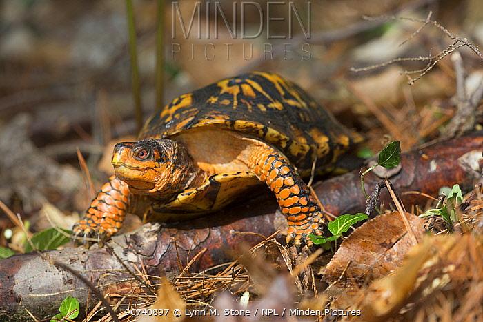 Eastern box turtle (Terrapene carolina carolina) Connecticut, USA