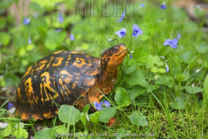 Eastern box turtle (Terrapene carolina carolina) among blue violets  woodland, Connecticut, USA