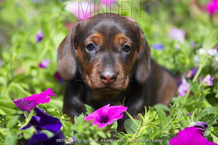 Standard Dachshund puppy  ingarden flowers, Monroe, Connecticut, USA