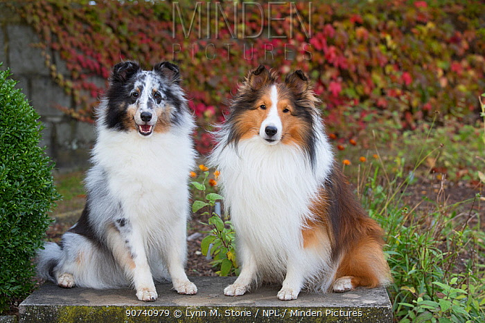 Shetland sheepdogs in autumn, Waterford, Connecticut, USA.