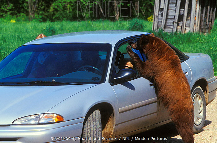 Juvenile American black bear (Ursus americanus), brown phase, looking for food in a car, Denver, Colorado, USA, July.