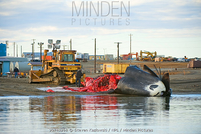 Inupiaq subsistence whalers butcher a Bowhead Whale (Balaena mysticetus) catch in the village of Kaktovik, Barter Island, North Slope, Alaska