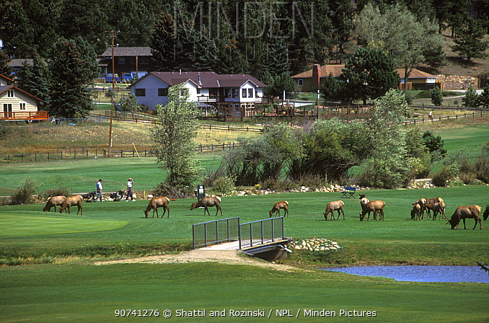 Herd of Elk (Cervus canadensis) grazing on a town golf course, Colorado, USA, August.