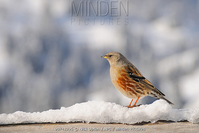 Alpine accentor (Prunus collaris) perched on a snow-covered hand-rail at an alpine chalet, with snow-covered mountain slopes and trees in the background, Hauteluce, Savoie, France, January.
