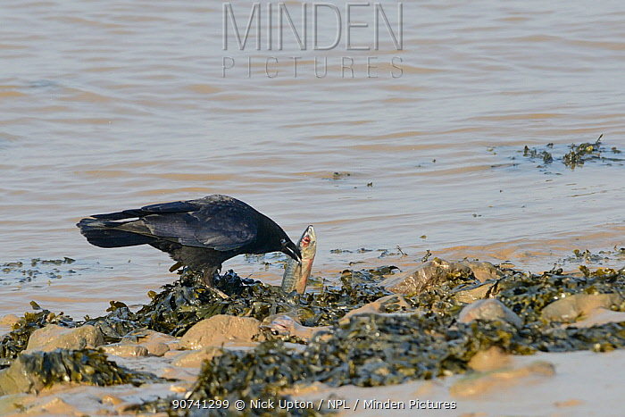 Carrion crow (Corvus corone) scavenging on a dead Mackerel (Scomber scombrus) washed up on the tideline, Severn estuary, Somerset, UK, March.