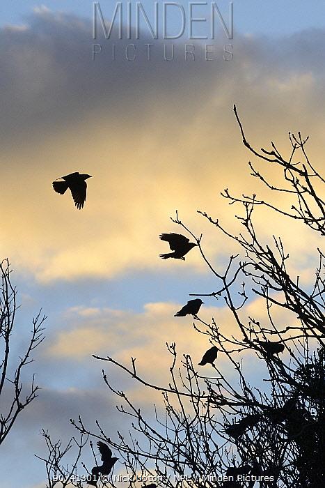 Jackdaws (Corvus monedula) flying to roost tree at sunset, Gloucestershire, UK, February.
