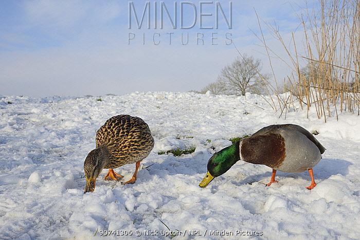 Mallard duck and drake (Anas platyrhynchos) foraging on snow covered lake margin, Wiltshire, UK, January.
