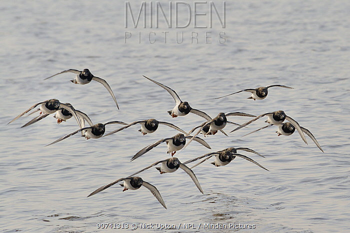 Turnstone (Arenaria interpres) flock flying low over the Severn estuary, after leaving their roost as the tide falls, Somerset, UK, March.