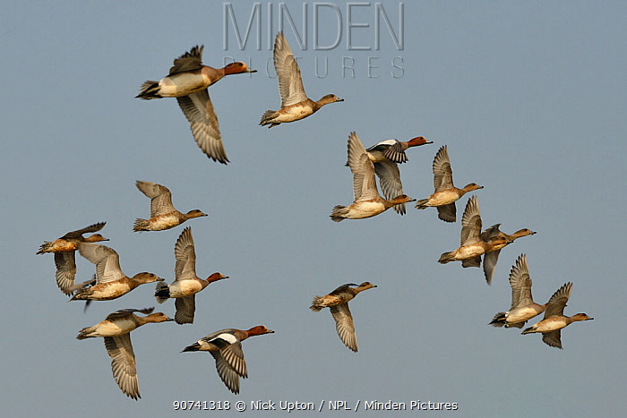 Wigeon (Anas penelope) flock flying against a bue sky, Severn estuary, Somerset, UK, March.