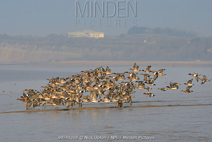 Wigeon (Anas penelope) flying in a tight flock low over mudflats on the Severn estuary with Aust cliff and service station in the background, Somerset, UK, March.