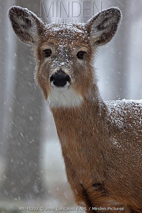 White-tailed deer (Odocoileus virginianus) in snow, New York, USA, winter