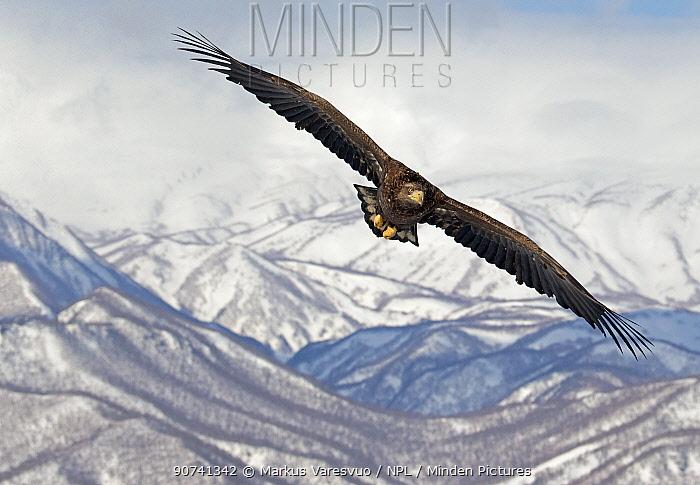 White-tailed Eagle (Haliaeetus albicilla) in flight with mountains in background, Hokkaido, Japan, February