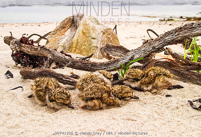 Ringed plover (Charadrius hiaticula) chicks hiding in tideline debris. Shetland,  Scotland, UK, May.