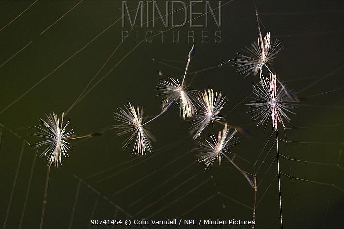 Dandelion (Taraxacum officinale) seeds caught on a cobweb. Dorset, UK May.