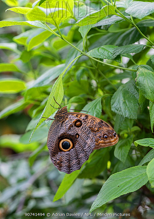 Owl butterfly (Caligo memnon) captive, occurs in  Central and South America.