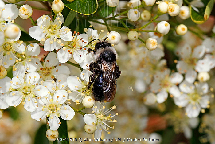Grey-haired mining bee (Andrena cineraria) feeding on Cotoneaster flowers in garden, Cheshire, UK, June.