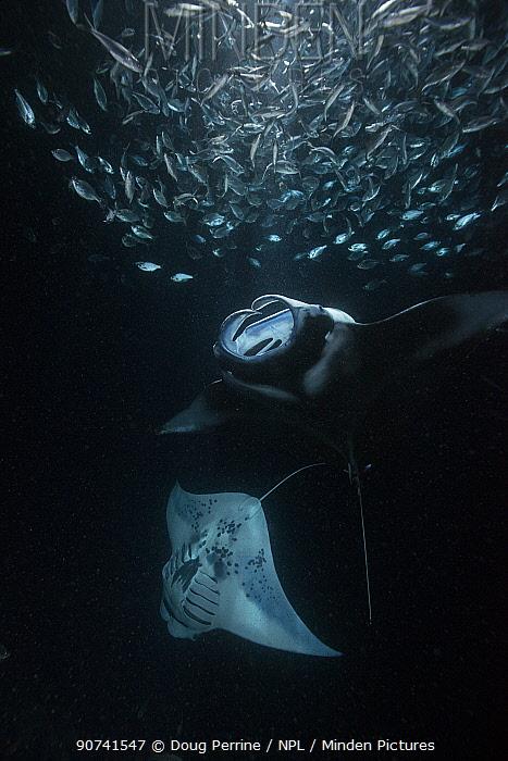 Reef manta ray (Manta alfredi) feeding on plankton attracted by light at night, among schooling Hawaiian flagtail (Kuhlia xenura) akako Bay, Keahole, Kona, Hawaii. August.