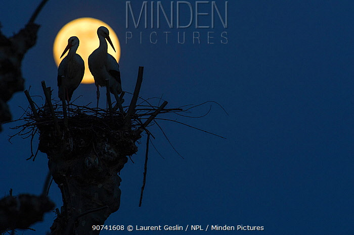 White storks (Ciconia ciconia) pair on nest silhouetted against full moon,  Strasbourg, France. April.