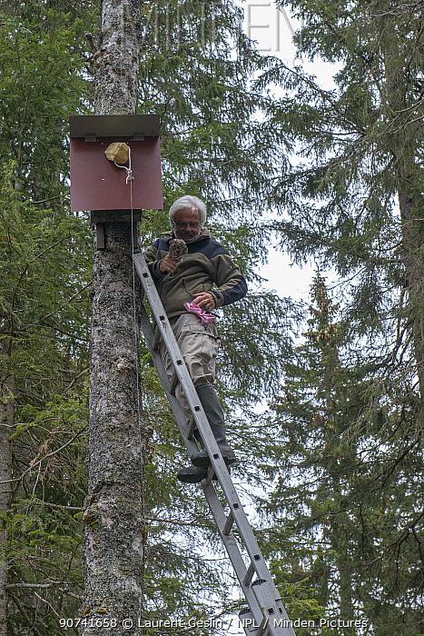 Naturalist removing Tengmalm's / Boreal owl (Aegolius funereus) from nest box to be ringed. Jura, Switzerland. April 2015.