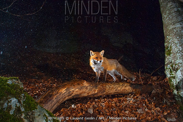 Red fox (Vulpes vulpes) at night camera trap image, Jura Mountains, Switzerland, August.