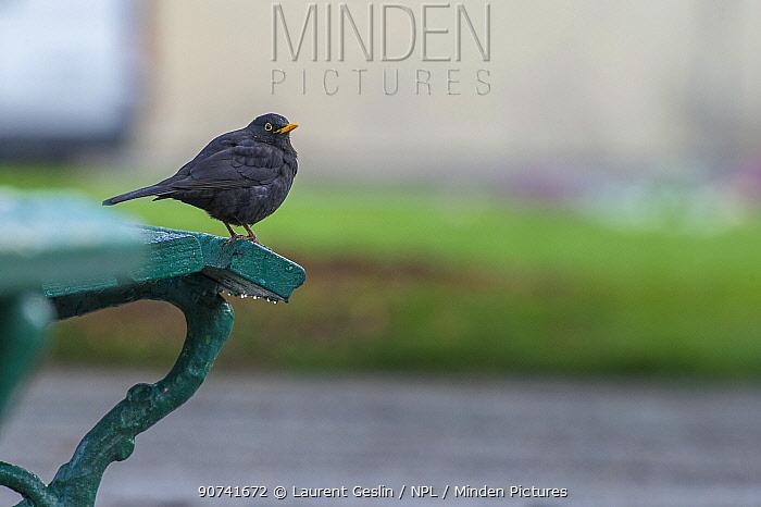 Blackbird (Turdus merula) on bench in urban park, Grenoble, France. April.