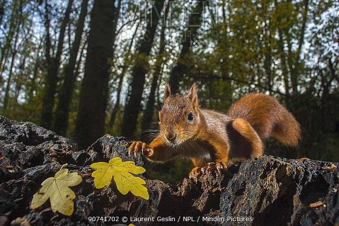 Red squirrel (Sciurus vulgaris) in park, Paris, France, November.