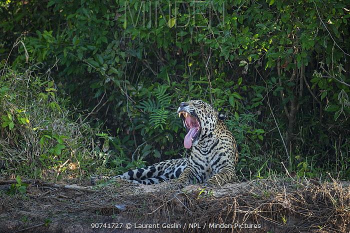 Jaguar (Panthera onca) male yawning, Pantanal, Brazil