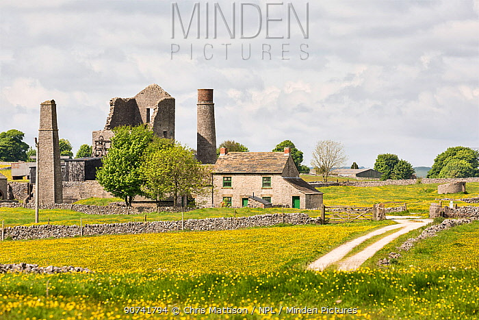 Magpie Mine near Monyash surrounded by fields of Meadow buttercups (Ranunculus acris) Peak District National Park, Derbyshire, England, UK, May.